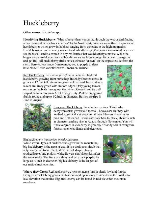 Huckleberry  Other names: Vaccinium spp.   Identifying Huckleberry: What is better than wandering through the woods an...