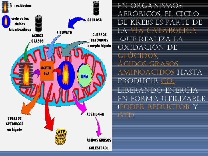 En organismos aeróbicos, el ciclo de Krebs es parte de la  vía catabólica que realiza la oxidación de glúcidos , ácidos...