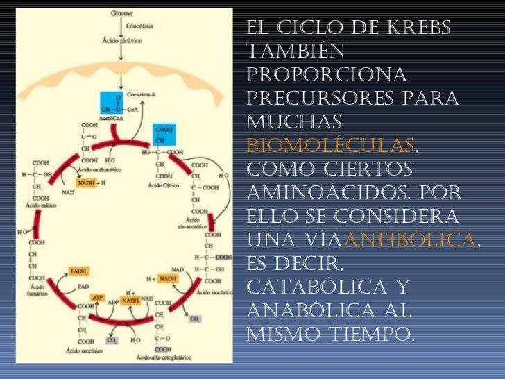 El ciclo de Krebs también proporciona precursores para muchas biomoléculas , como ciertos aminoácidos. Por ello se consid...