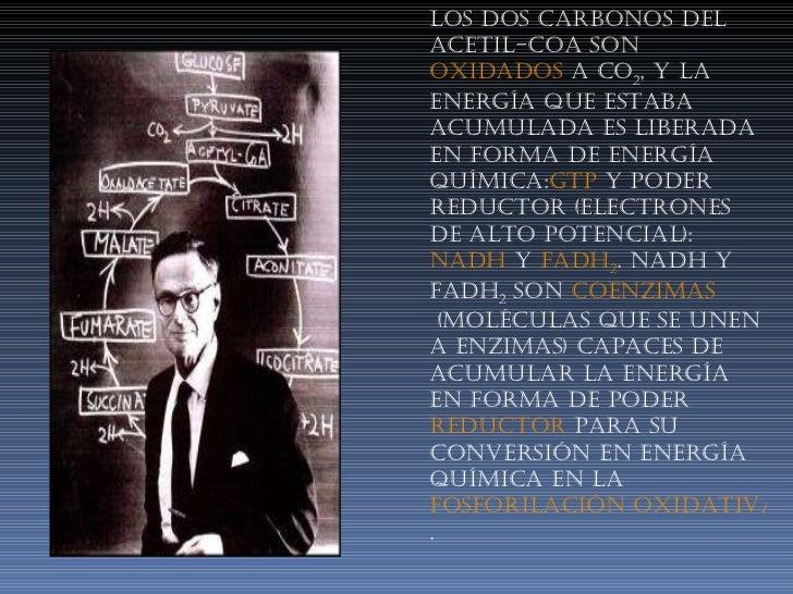 Los dos carbonos del Acetil-CoA son oxidados a CO 2 , y la energía que estaba acumulada es liberada en forma de energía ...