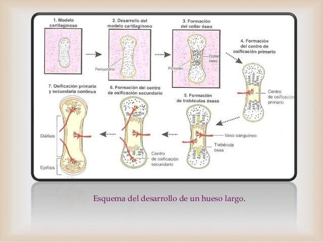 Anatomia de los huesos