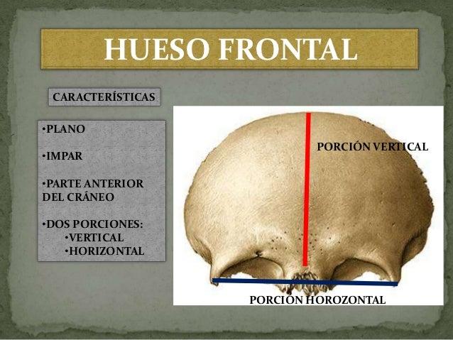 hueso-frontal-3-638.jpg?cb=1352796729
