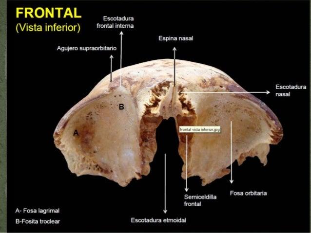 Hueso frontal