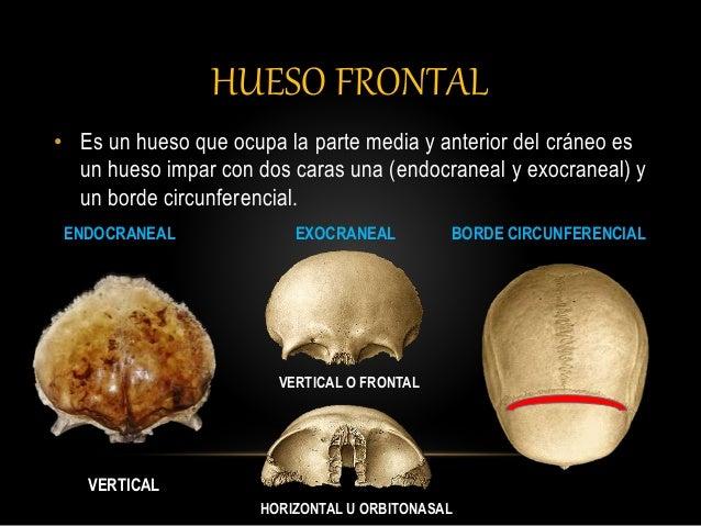 hueso-frontal-4-638.jpg?cb=1430181648
