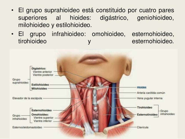 Hueso hioides