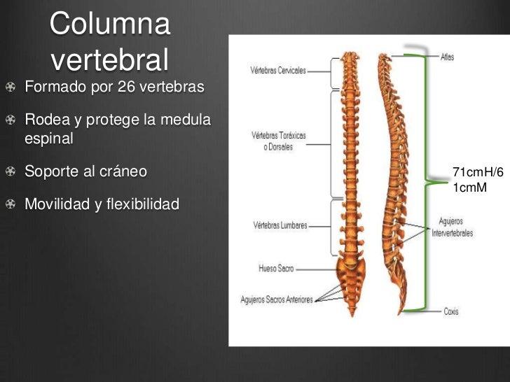 Hueso hioides, columna vertebral
