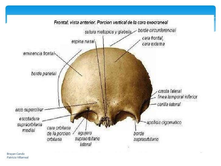 Hueso parieta y frontal