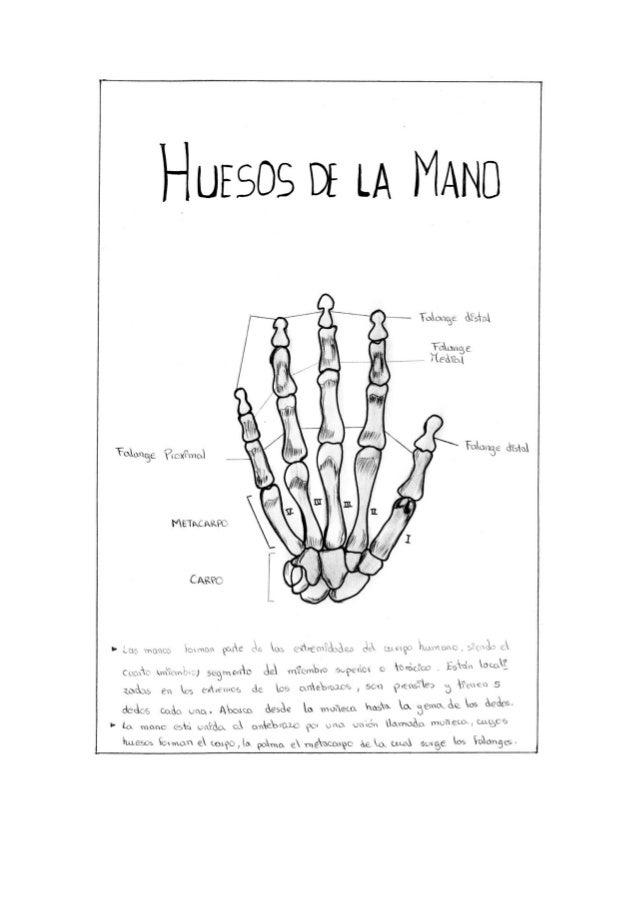 Huesos de las manos y de los pies