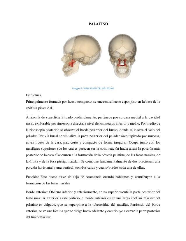Atractivo Anatomía Tuberosidad Del Maxilar Composición - Imágenes de ...