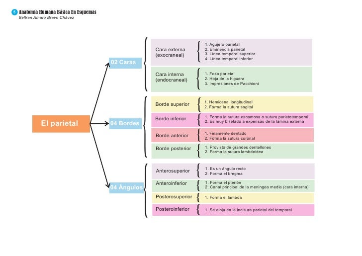 Perfecto Cráneo Diagrama Anatomía Regalo - Anatomía de Las ...