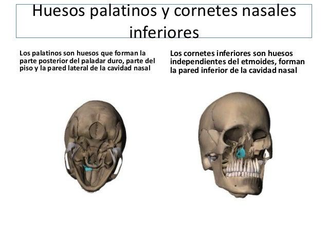 Huesos de la cara for Pared lateral de la cavidad nasal