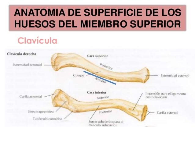ANATOMIA DE SUPERFICIE DE LOSHUESOS DEL MIEMBRO SUPERIOR             T2