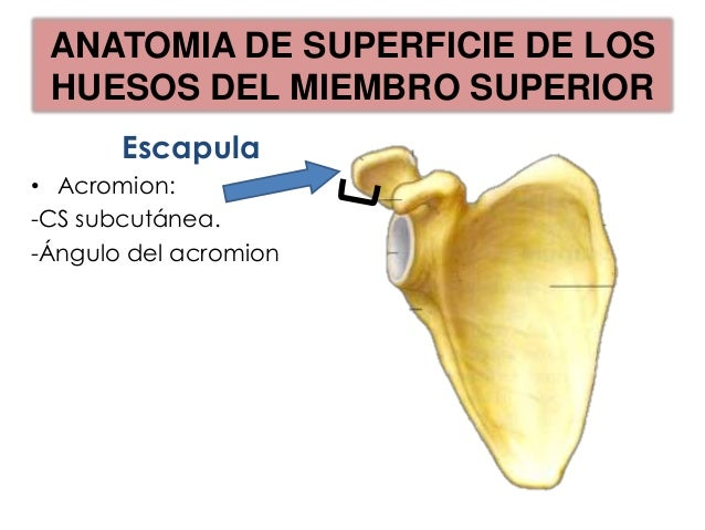ANATOMIA DE SUPERFICIE DE LOSHUESOS DEL MIEMBRO SUPERIOR             T3                   Extremo medial de la raíz       ...