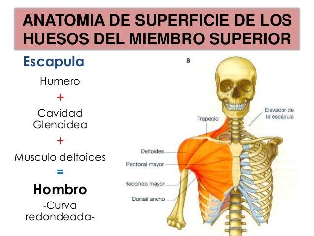 ANATOMIA DE SUPERFICIE DE LOS  HUESOS DEL MIEMBRO SUPERIOR                      T7CERCA DEL BORDEINFERIOR DE LA 7MACOSTILL...