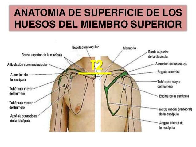 Huesos de la mano y anatomia de superficie del miembro superior