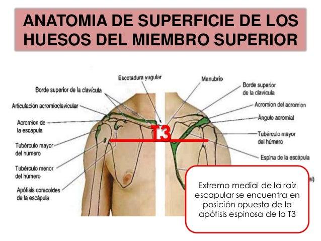 ANATOMIA DE SUPERFICIE DE LOSHUESOS DEL MIEMBRO SUPERIOR                  Epicondilos                  Subcutáneos.       ...