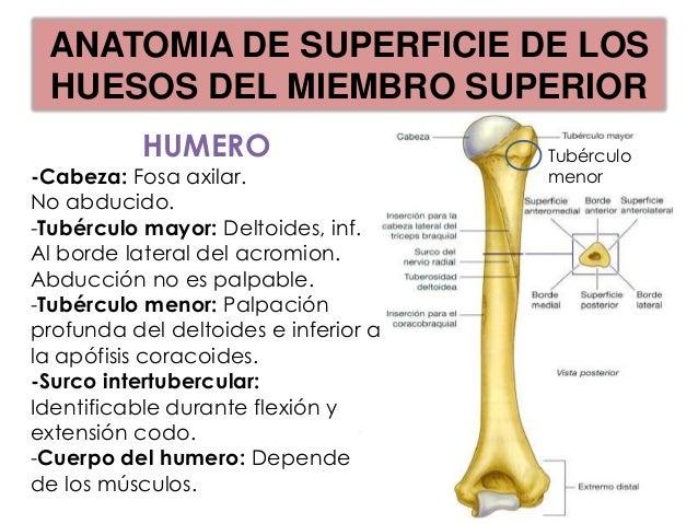ANATOMIA DE SUPERFICIE DE LOSHUESOS DEL MIEMBRO SUPERIOR                     CUBITO                  Cabeza:              ...