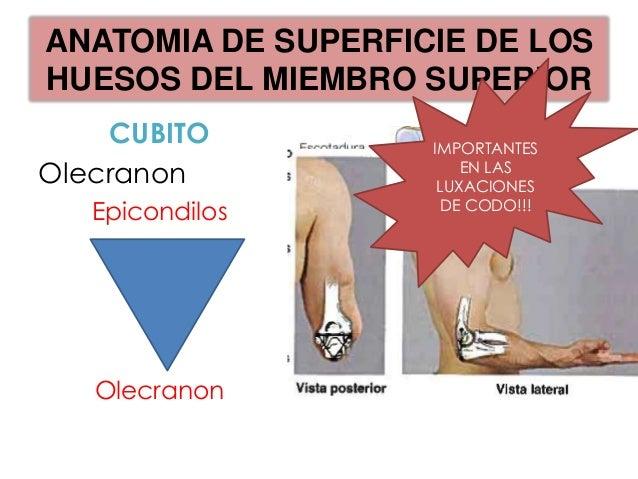 ANATOMIA DE SUPERFICIE DE LOSHUESOS DEL MIEMBRO SUPERIOR             RADIO-Relacion de las apofisis estiloidesradial-cubit...
