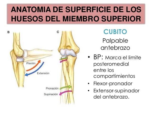 ANATOMIA DE SUPERFICIE DE LOSHUESOS DEL MIEMBRO SUPERIOR                      CARPO             -Pisiforme: Distinguible C...