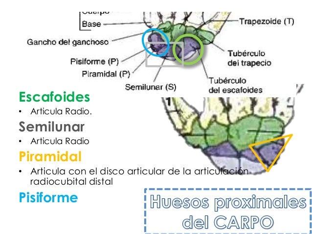 Escafoides• Articula Radio.Semilunar• Articula RadioPiramidal• Articula con el disco articular de la articulación  radiocu...