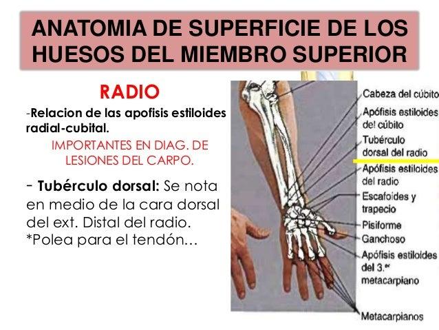 ANATOMIA DE SUPERFICIE DE LOSHUESOS DEL MIEMBRO SUPERIORMedición del miembro                Puntos:•   Ángulo del acromion...