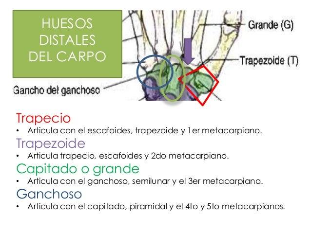HUESOS     DISTALES                                  u    DEL CARPOTrapecio•   Articula con el escafoides, trapezoide y 1e...