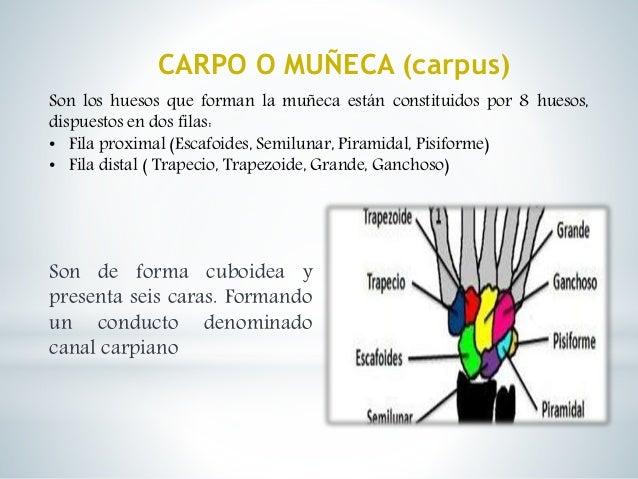 Huesos de la mano y pie