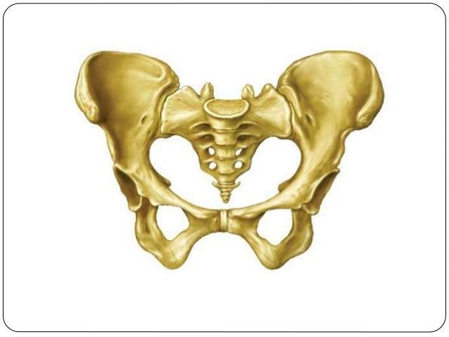  El sacro, formado por la fusión de 5 vertebras sacras, inicialmente separadas, y el coxis formado por la unión de entre ...