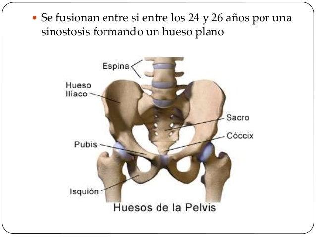 Cuerpo del ilion  Es la parte central del hueso.