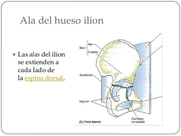 Espina iliaca anterior inferior  es una prominencia ósea situada en la pelvis, en el borde anterior del hueso ilion, por ...