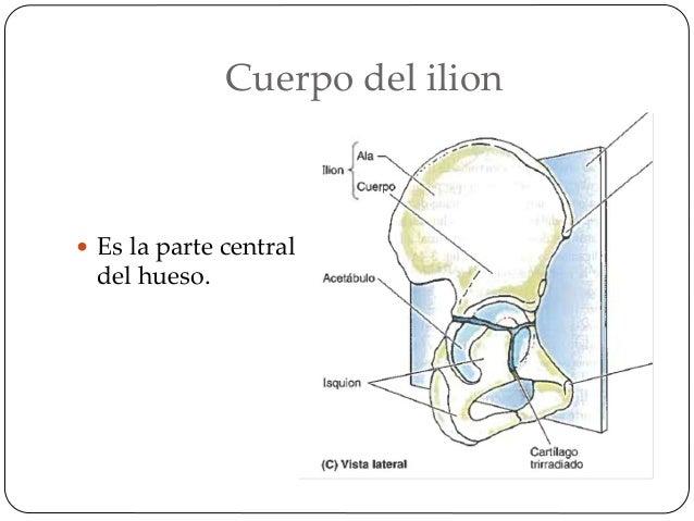 Labios de la cresta iliaca  En este labio externo podemos encontrar una prominencia llamada tubérculo iliaco.  Sobre el ...