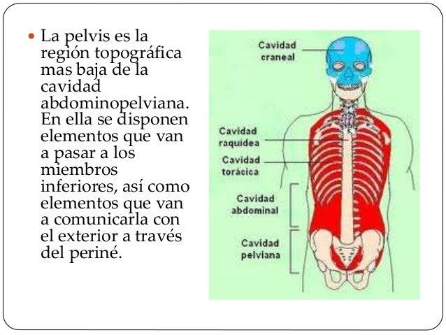  Transmitir el peso de la mitad superior del cuerpo del esqueleto axial al apendicular inferior.