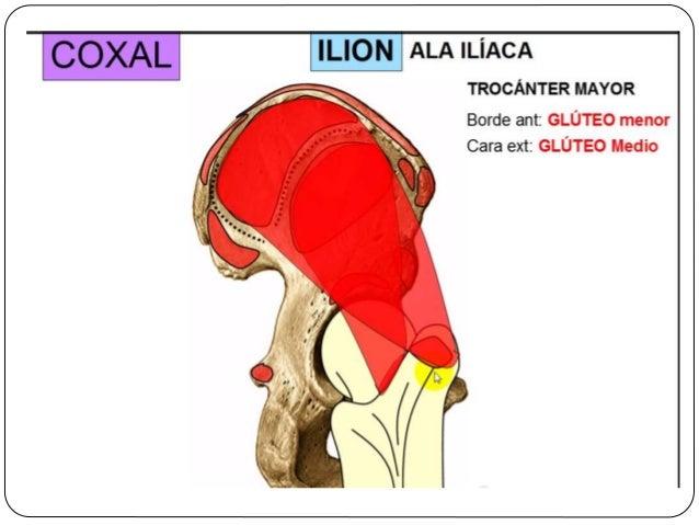  Pequeña pieza triangular formado por la fusión de entre 3 y 5 vertebras  Su superficie superior se articula con el vért...