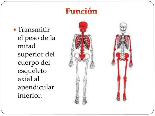  Resistir las fuerzas de compresión y otras derivadas del soporte corporal.  Protección a los órganos pélvicos.
