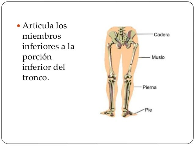 La pelvis puede dividirse en:  Pelvis Mayor (Pelvis falsa)  Pelvis Menor ( Pelvis verdadera)