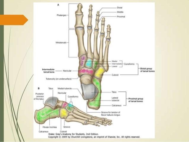 Huesos de la pierna y pie