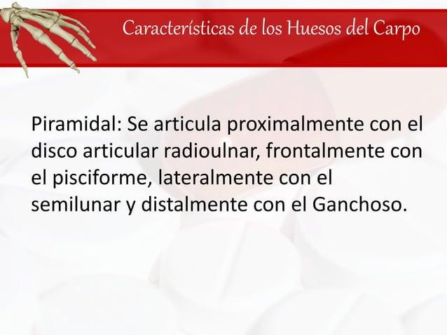 Características de los Huesos del Carpo<br />Piramidal: Se articula proximalmente con el disco articular radioulnar, front...