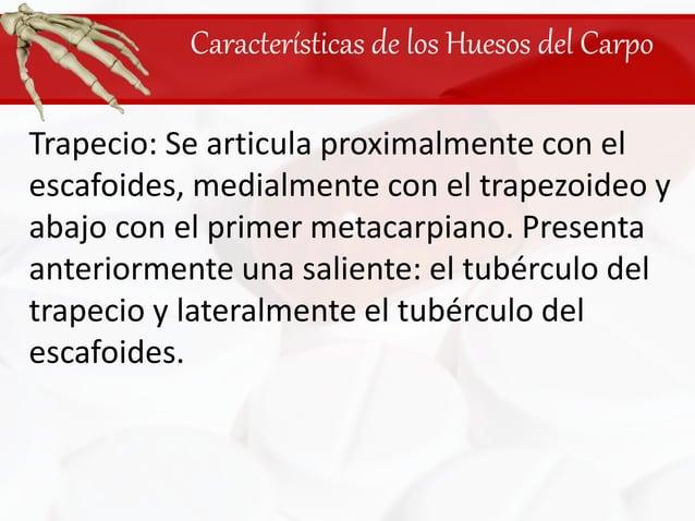 Características de los Huesos del Carpo<br />Trapecio: Se articula proximalmente con el escafoides, medialmente con el tra...