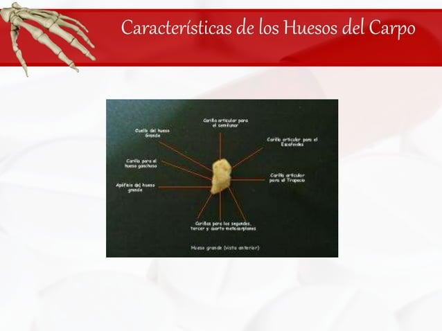 Características de los Huesos del Carpo<br />