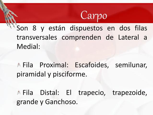Carpo<br />Son 8 y están dispuestos en dos filas transversales comprenden de Lateral a Medial: <br /> Fila Proximal: Escaf...