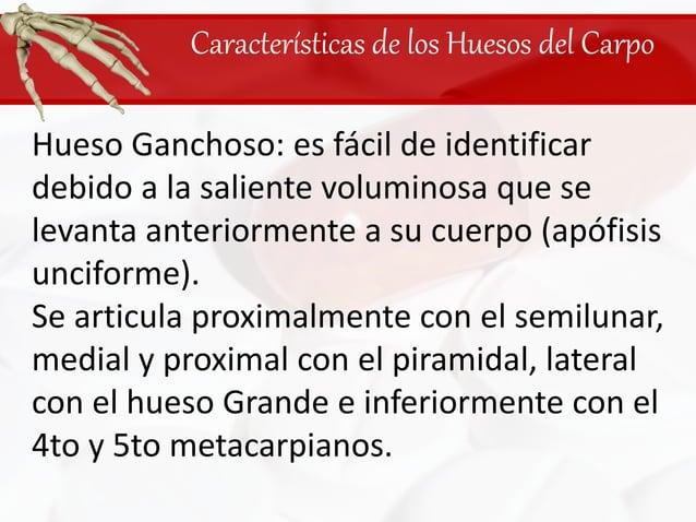 Características de los Huesos del Carpo<br />Hueso Ganchoso: es fácil de identificar debido a la saliente voluminosa que s...