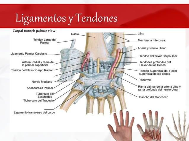 Ligamentos y Tendones<br />