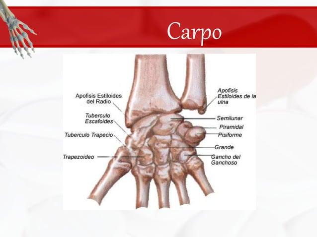 Carpo<br />