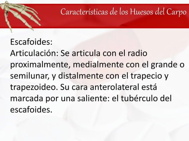 Características de los Huesos del Carpo<br />Escafoides: <br />Articulación: Se articula con el radio proximalmente, media...