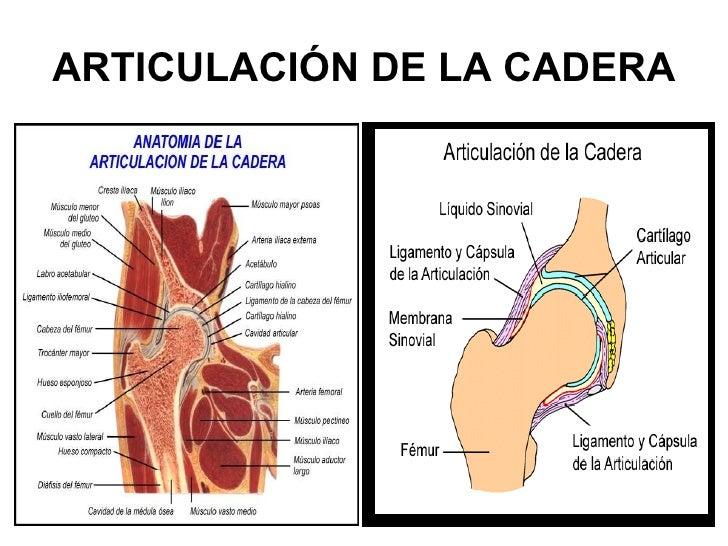 Moderno Anatomía Huesos De La Cadera Molde - Anatomía de Las ...