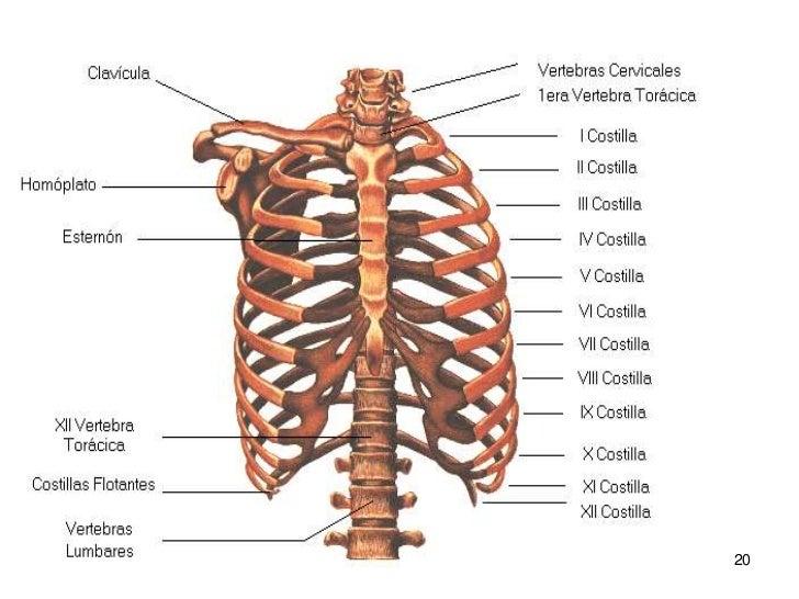 huesos-del-cuerpo-humano-20-728.jpg?cb=1306950517