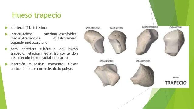 Huesos del miembro superior cubito radio-carpo