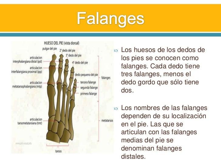 Huesos y Músculos del pie