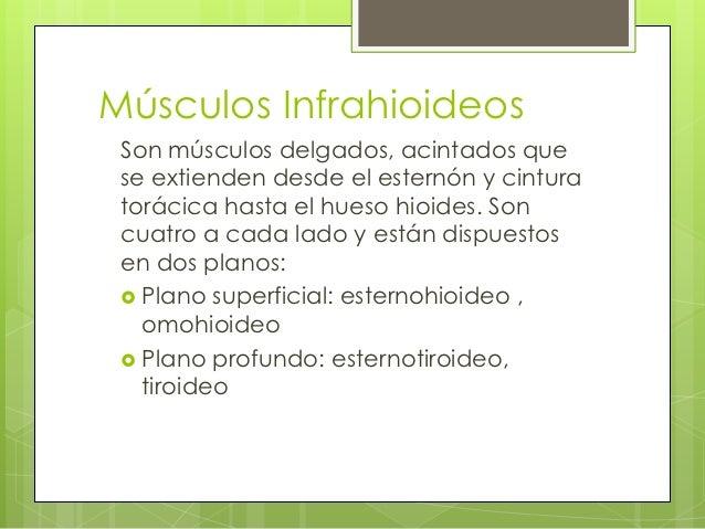 Huesos del t rax y musc region hioidea for Esternohioideo y esternotiroideo