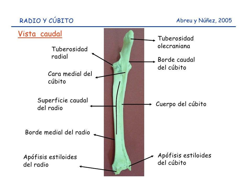 Huesos miembro anterior del caprino